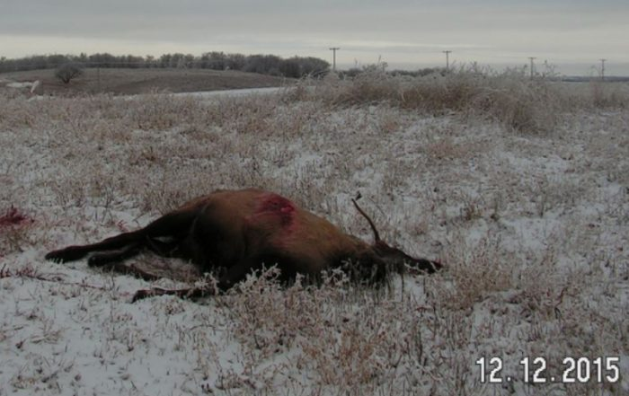 Herd of Elk Shot at, Multiple Killed But Only One Field Dressed Near Kipling