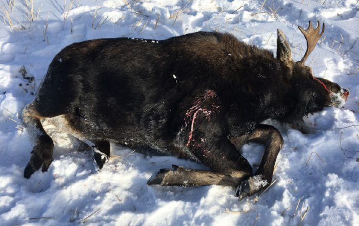 Moose Shot and Left to Waste Near St. Brieux