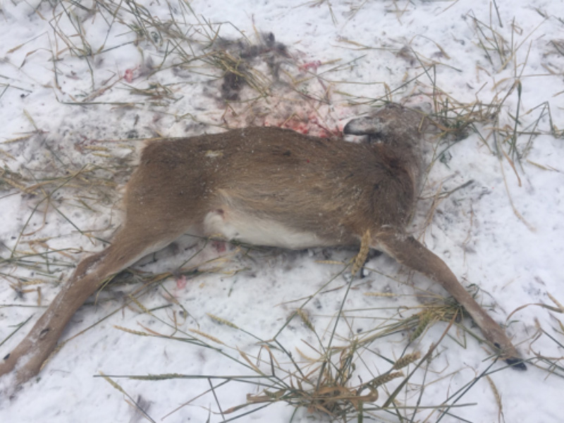 Two Deer Fawns Shot and Left Near Dorintosh