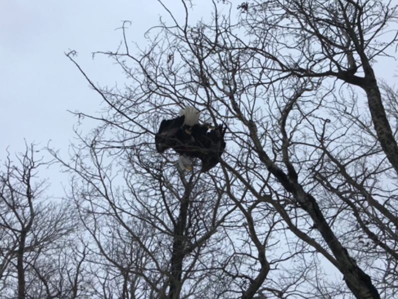 Bald Eagle Shot and Killed Near St. Walburg