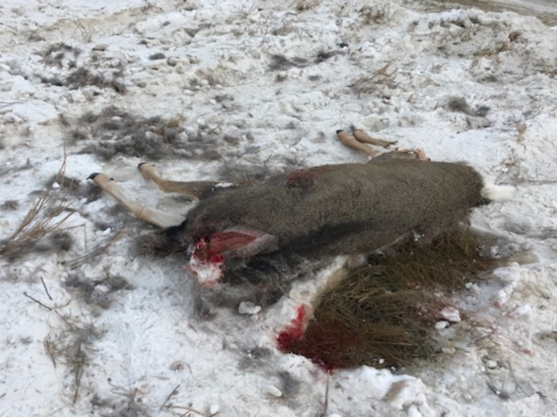 Mule Deer Shot and Left to Waste Near St. Walburg