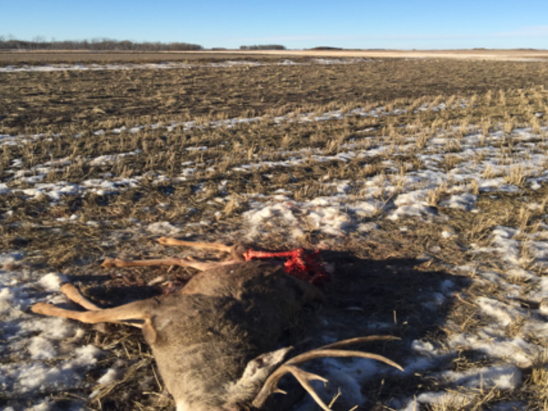 Multiple Deer Shot and Left to Waste Near Drake