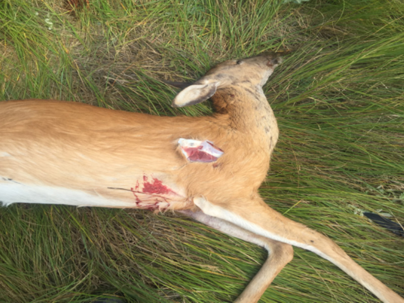 White-Tailed Doe Shot Multiple Times and Dumped Near Englefeld
