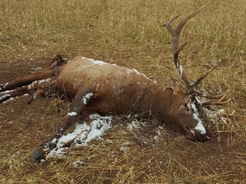 Elk Shot and Left Near Tobin Lake