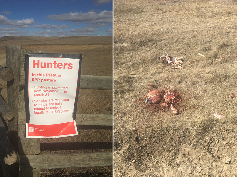 Mule Deer Illegally Shot Near Assiniboia