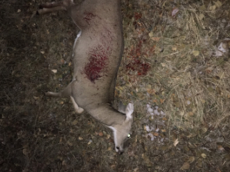 White-Tailed Doe Shot and Left to Waste Near Wascana Lake