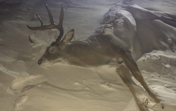 White-Tailed Deer Buck Shot Out of Season and Left to Waste Near Tisdale