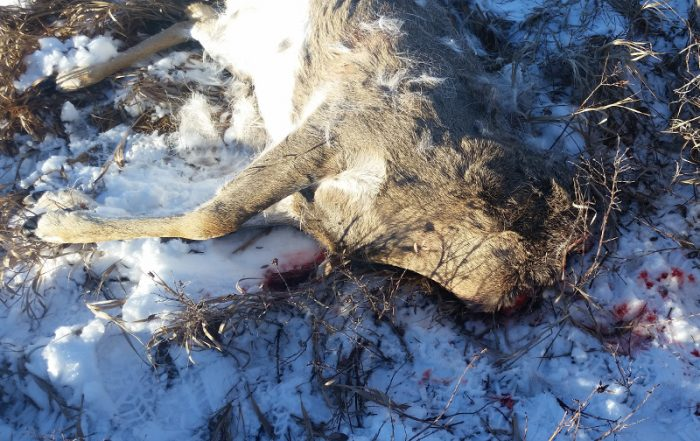 Mule Deer Buck Shot and Only the Head Taken Near Coronach