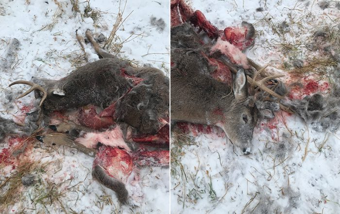 White-Tailed Buck Shot and Left Near Hinterland Road