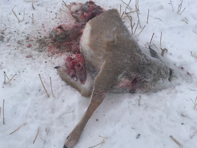 White-tailed Deer Shot and Left Near Cudworth
