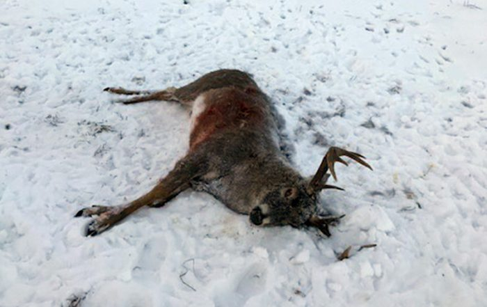White-tailed Buck Shot and Left to Waste Near Loon Lake