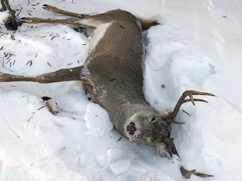 Another White-Tailed Buck Shot and Left to Waste Near Loon Lake