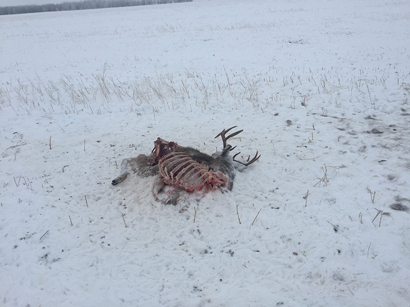 White-Tailed Buck Shot and Left Near Dorintosh