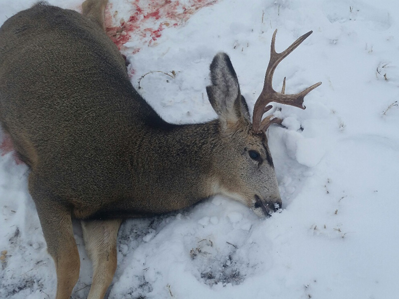 Mule Deer Buck Left to Waste Near Ardill