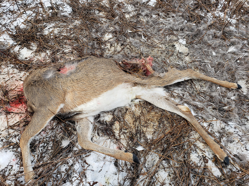 Headless WT Buck Left to Waste Near Moosomin Regional Park
