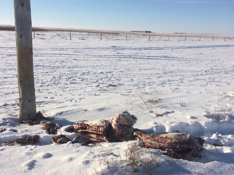 White-Tailed Deer Carcasses Dumped Near Kincaid