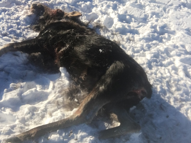 Moose Shot and Left Near Glaslyn