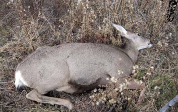 Deer Shot Within the Community of Rockglen