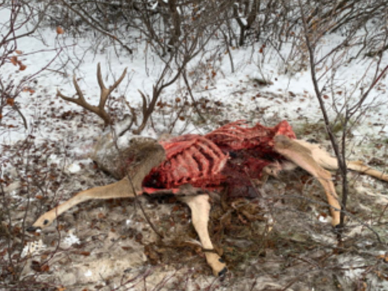 Mule Deer Buck Shot and Left Near Marquis