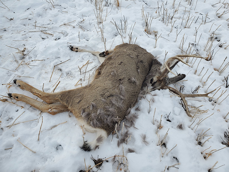 Mule Deer Buck Shot and Left Near Estevan