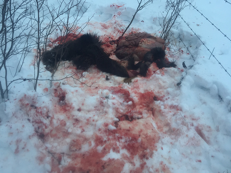Calf Moose Illegally Shot Near St. Brieux
