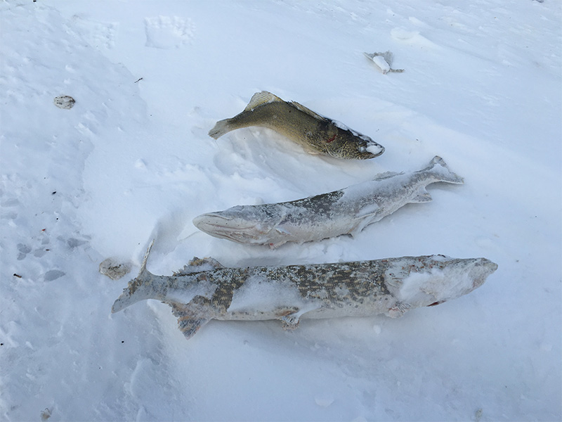 Fish Continually Left to Waste in the Creighton Area