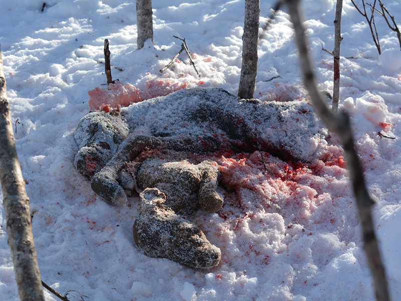 Pregnant Cow Moose Shot Out of Season Near Rapid View