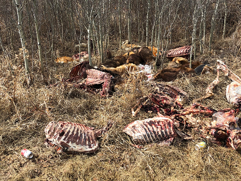 Improper Carcass Disposal Near Lloydminster