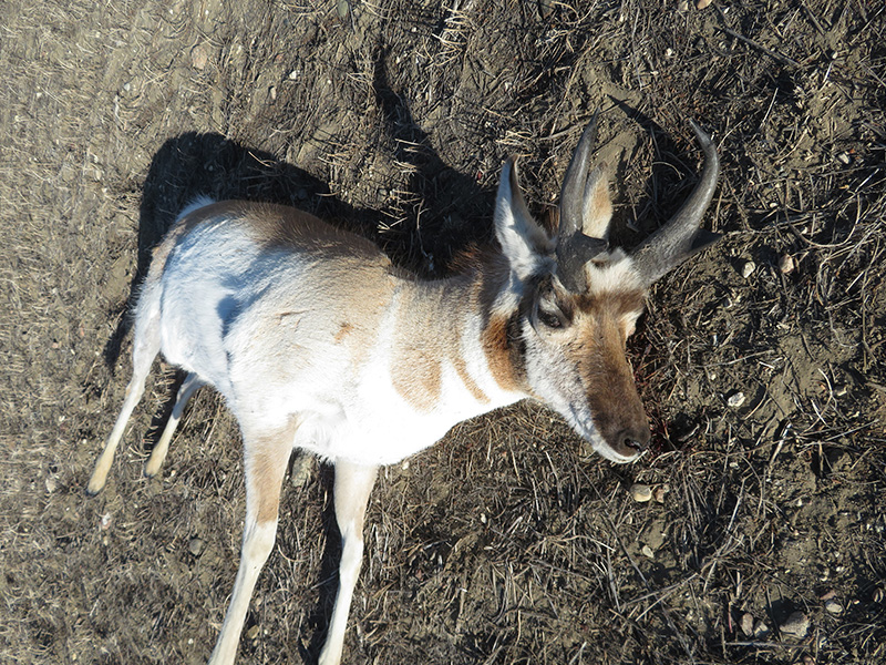 Pronghorn Antelope Left to Waste Near Richmound