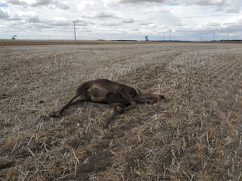 Pregnant Cow Moose Shot and Left to Die Near Lampman