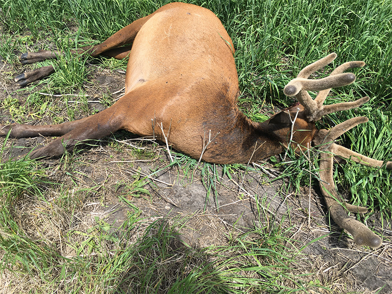 Elk Shot Near Kelvington