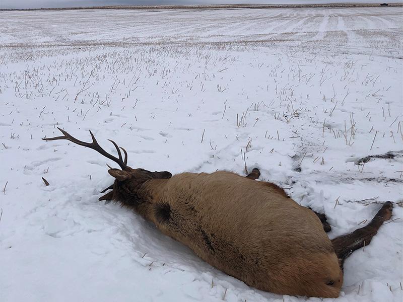 Bull Elk Shot near St. Walburg